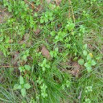 immature-turf-chickweed