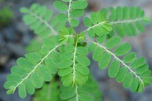 chamberbitter leaves