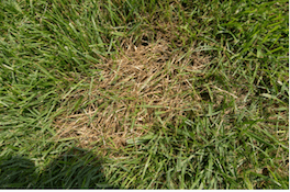 brown patch in fescue