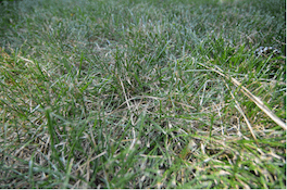 fescue grass with heat stress