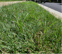 nutsedge growing in fescue