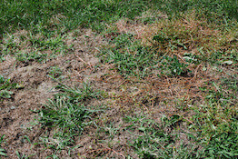 dry patch on lawn
