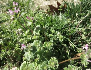 broadleaf weed in garden