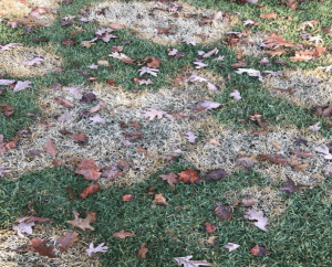 large patches of fungus in zoysia grass