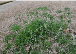 poa annua growing in winter damaged bermuda grass