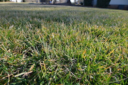 yellow fescue grass