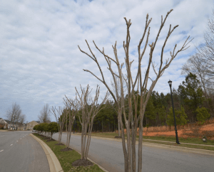 crepe myrtle without leaves