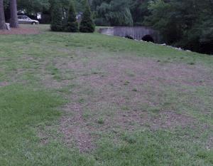 patchy centipede grass