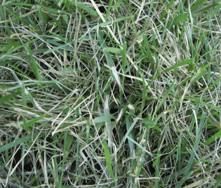 brown patch lesions on grass