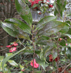 insect on camelia plant