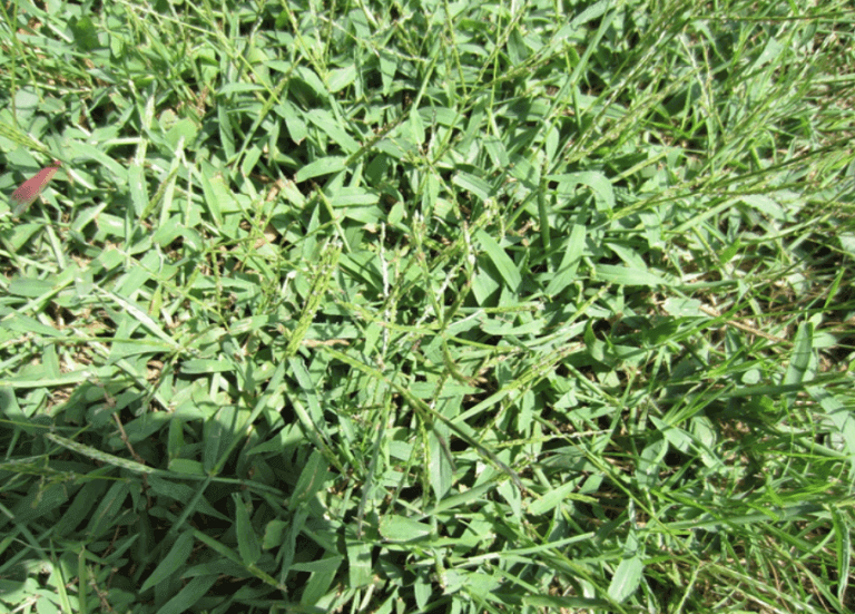 summer crabgrass