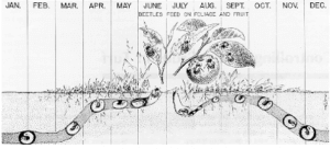 timeline of beetle eating habits