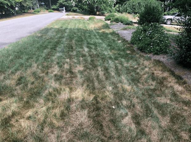 heat damage on fescue lawn